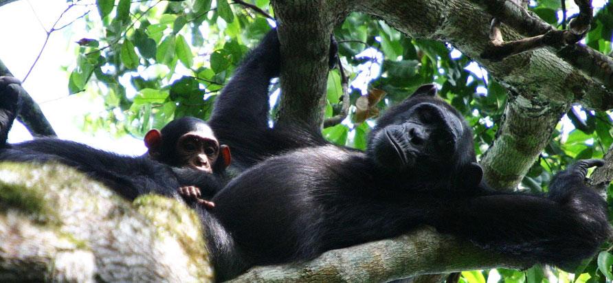 Primate Safaris Uganda