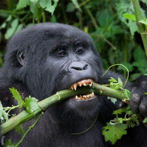 Gorilla Safari Tours1