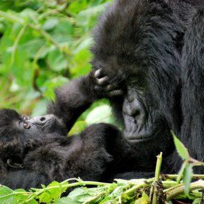 Gorilla Safaris1
