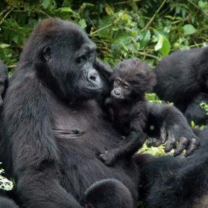 Uganda Rwanda Congo Safari
